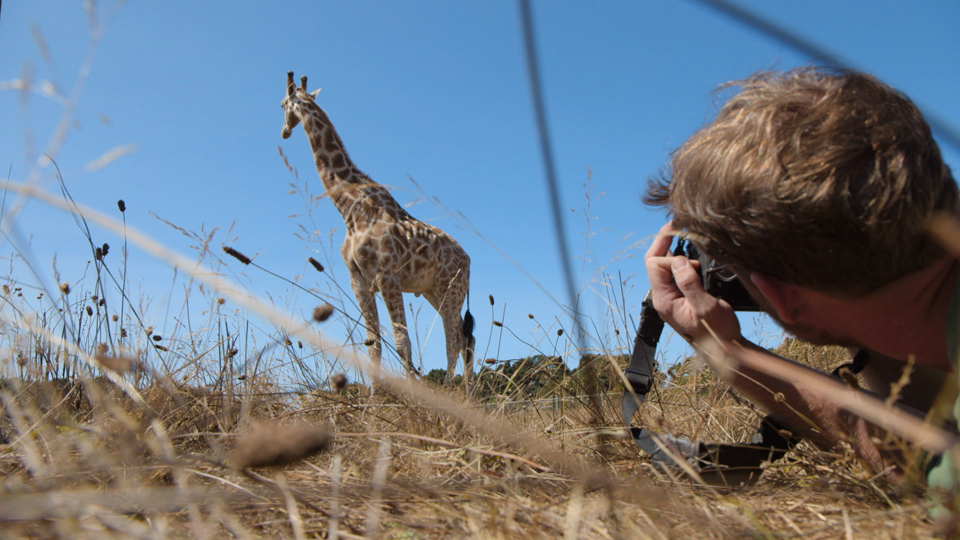 Photographing Rothchild's giraffes at a preserve: Photographing Wildlife at a Preserve