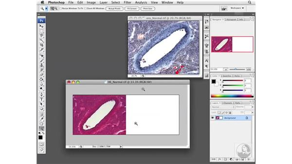 Resizing the image canvas: Photoshop CS3 Extended for BioMedical Research