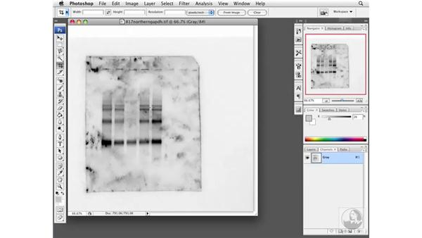 Considering adjustments: Photoshop CS3 Extended for BioMedical Research