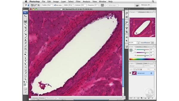 Using the Magnetic Lasso to create an area of interest: Photoshop CS3 Extended for BioMedical Research