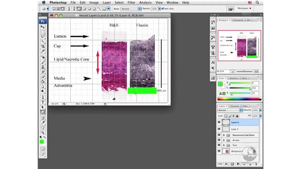 Adding vector shapes to images: Photoshop CS3 Extended for BioMedical Research